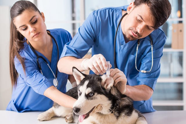 Hearing Loss in Dogs - Symptoms, Causes, Diagnosis, Treatment, Recovery, Management, Cost