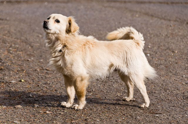 Heart Beat Problems (Atrial Standstill) in Dogs - Symptoms, Causes, Diagnosis, Treatment, Recovery, Management, Cost