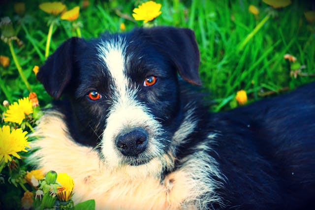 Heart Beat Problems (Fibrillation and Flutter) in Dogs - Symptoms, Causes, Diagnosis, Treatment, Recovery, Management, Cost
