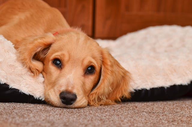 Heart Disease of the Sinus Node in Dogs - Symptoms, Causes, Diagnosis, Treatment, Recovery, Management, Cost