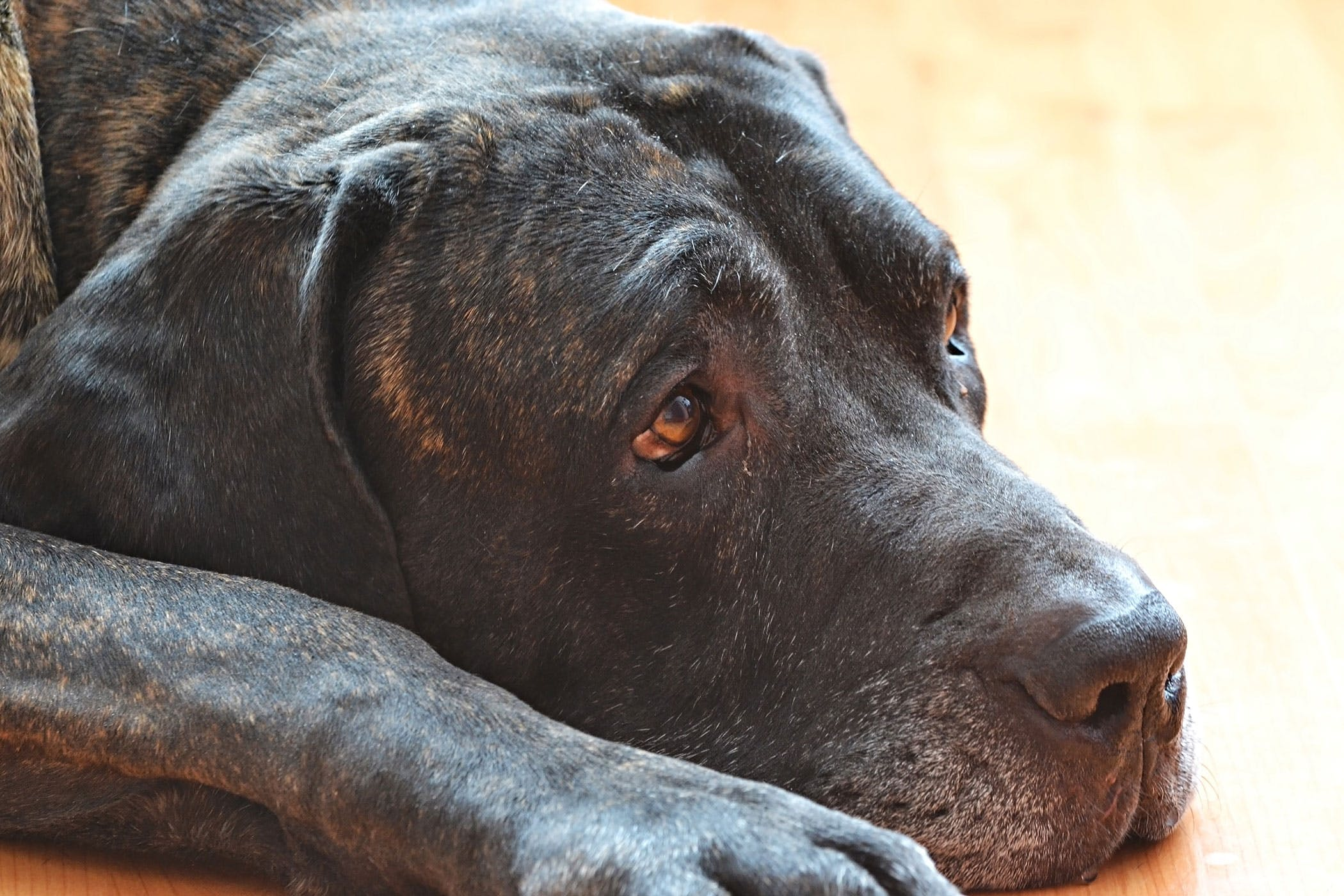 Hemorrhoids in Dogs: Causes, Symptoms, Diagnosis and Treatment Characteristics
