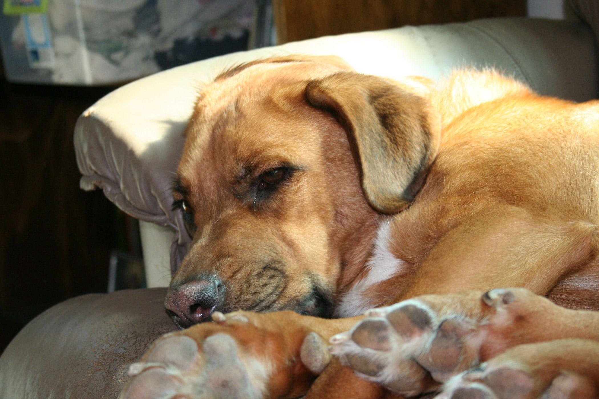 dog heart murmur medication heart inflammation myocarditis in dogs symptoms causes