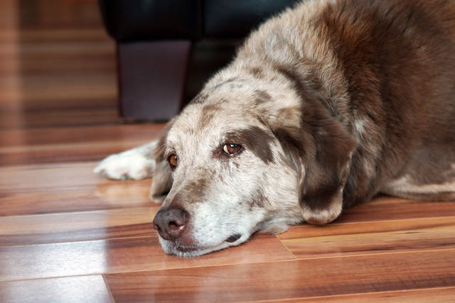 Heart Valve Infection (Infective Endocarditis) in Dogs - Symptoms, Causes, Diagnosis, Treatment, Recovery, Management, Cost
