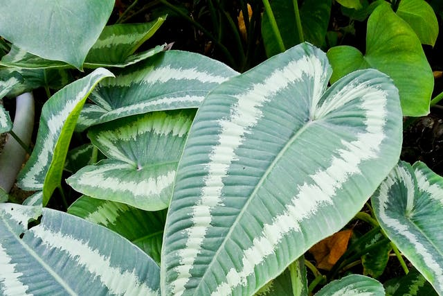 Heartleaf Philodendron Poisoning in Dogs - Symptoms, Causes, Diagnosis, Treatment, Recovery, Management, Cost