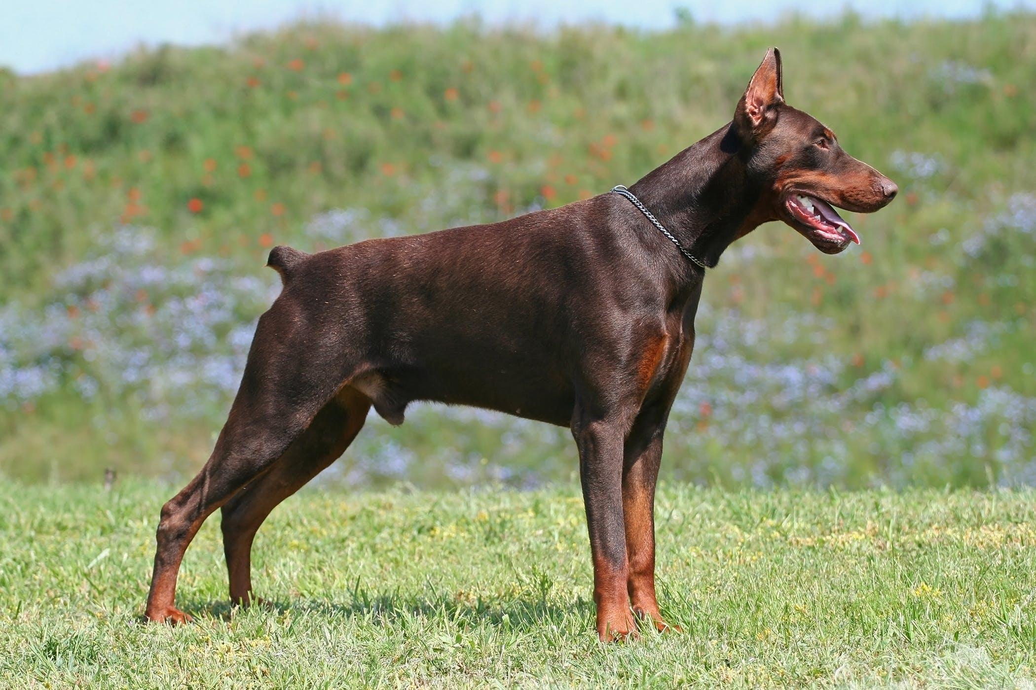 Hemivertebra in Dogs Symptoms Causes Diagnosis Treatment