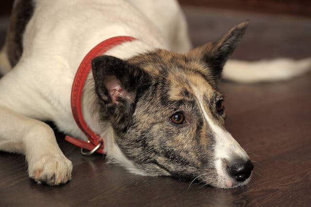 Hemoabdomen in Dogs - Symptoms, Causes, Diagnosis, Treatment, Recovery, Management, Cost