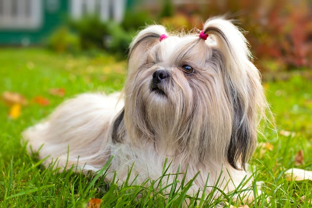 Hepatic Encephalopathy in Dogs - Symptoms, Causes, Diagnosis, Treatment, Recovery, Management, Cost