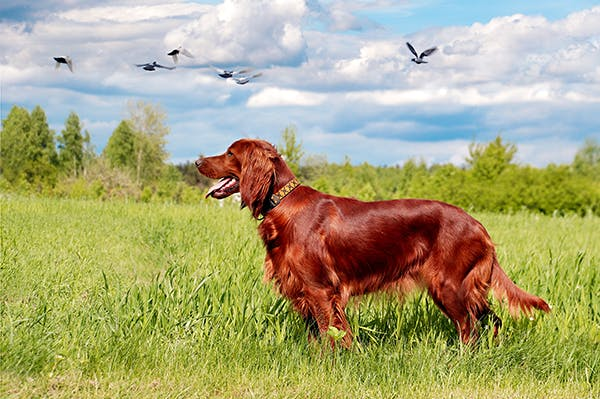 Hepatocutaneous Syndrome in Dogs - Symptoms, Causes, Diagnosis, Treatment, Recovery, Management, Cost