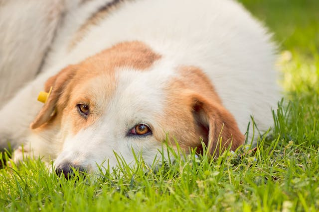 Herbal Cancer Support in Dogs - Conditions Treated, Procedure, Efficacy, Recovery, Cost, Considerations, Prevention