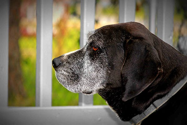 Hereditary Blood Disorders in Dogs