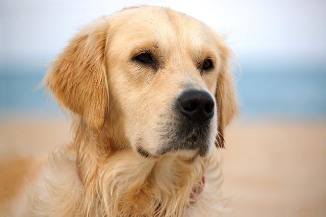Hereditary Muscle Disease (Non-inflammatory Myopathy in Labrador Retrievers) in Dogs - Symptoms, Causes, Diagnosis, Treatment, Recovery, Management, Cost