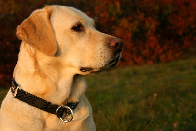 Hereditary Myopathy (Labrador Retriever and Bouvier des Flandres) in Dogs - Symptoms, Causes, Diagnosis, Treatment, Recovery, Management, Cost