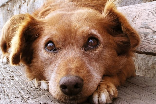 Heterobilharzia: Liver and Intestinal Parasite in Dogs - Symptoms, Causes, Diagnosis, Treatment, Recovery, Management, Cost