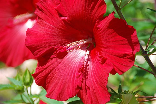 Hibiscus Poisoning in Dogs - Symptoms, Causes, Diagnosis, Treatment, Recovery, Management, Cost