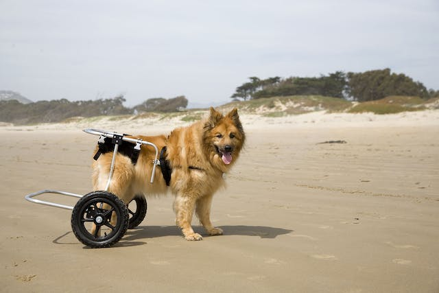 Hip Dysplasia in Dogs - Symptoms, Causes, Diagnosis, Treatment, Recovery, Management, Cost