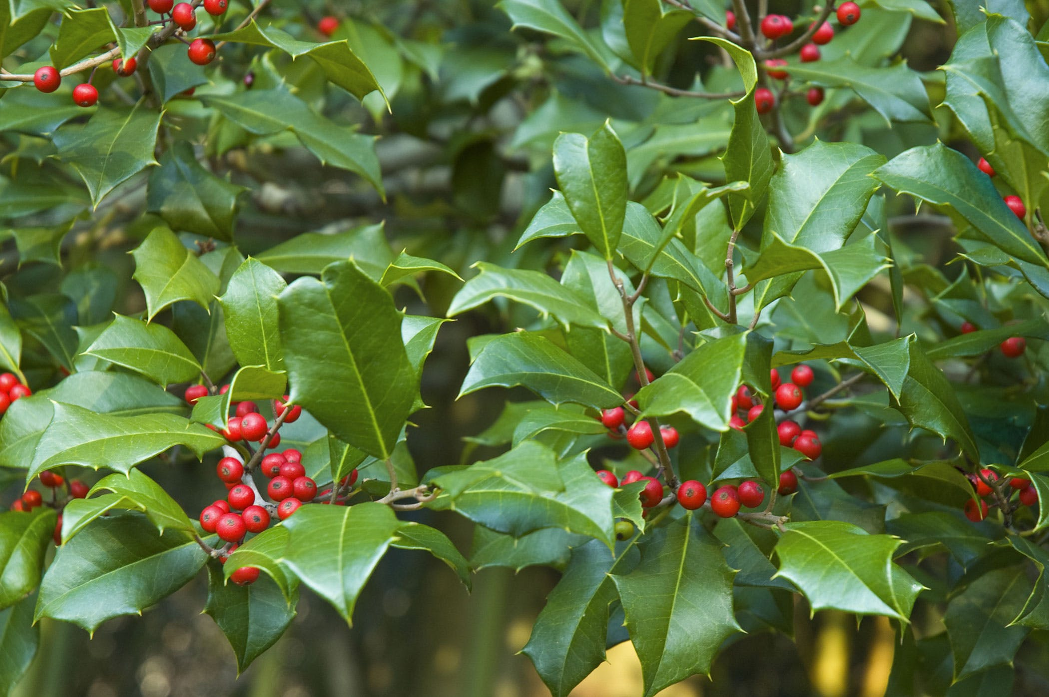 holly poisoning in dogs symptoms causes diagnosis treatment