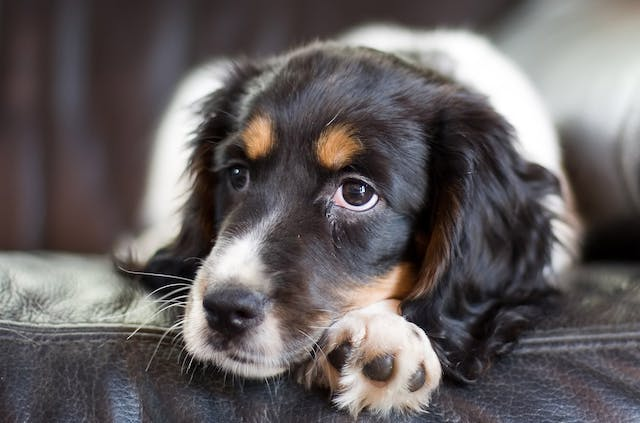 Hookworms in Dogs - Symptoms, Causes, Diagnosis, Treatment, Recovery, Management, Cost