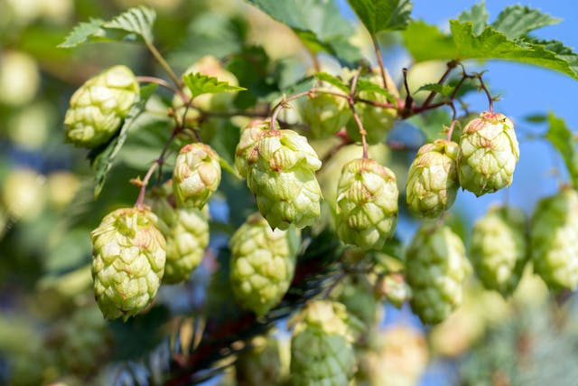 Hops Poisoning in Dogs - Symptoms, Causes, Diagnosis, Treatment, Recovery, Management, Cost