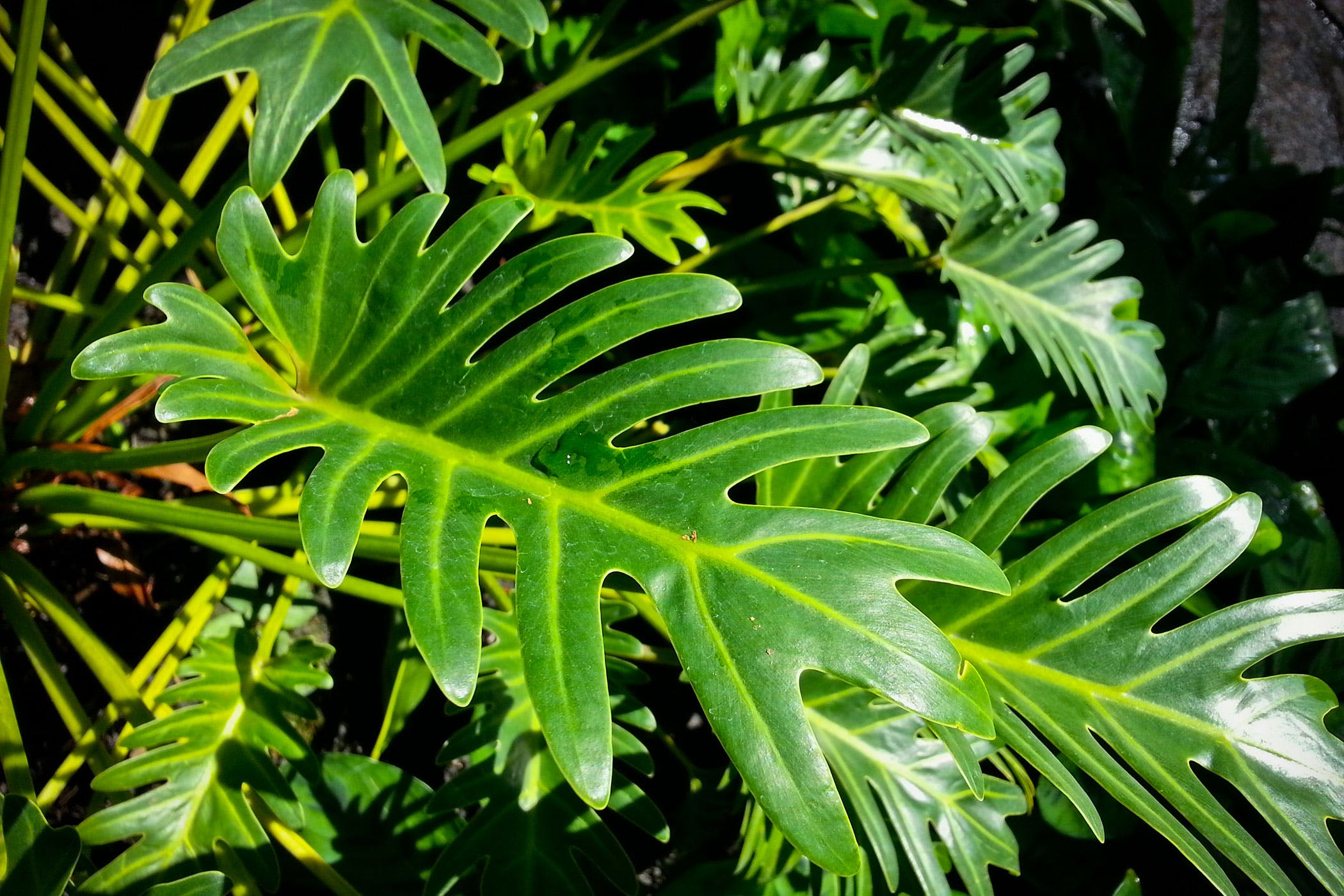 Horsehead Philodendron Poisoning In Dogs Symptoms Causes Diagnosis Treatment Recovery Management Cost