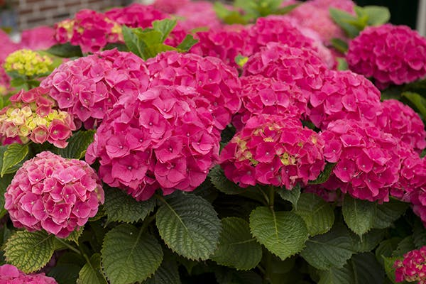 Hortensia Poisoning in Dogs - Symptoms, Causes, Diagnosis, Treatment, Recovery, Management, Cost