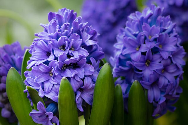 Hyacinth Poisoning in Dogs - Symptoms, Causes, Diagnosis, Treatment, Recovery, Management, Cost