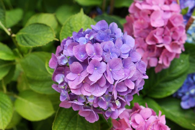 Hydrangea Poisoning in Dogs - Symptoms, Causes, Diagnosis, Treatment, Recovery, Management, Cost