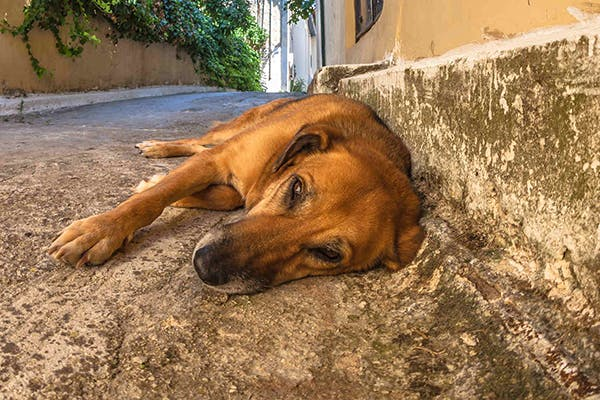 Hydronephrosis in Dogs - Symptoms, Causes, Diagnosis, Treatment, Recovery, Management, Cost