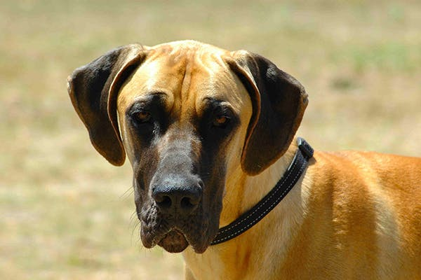 Hyperpigmentation in Dogs - Symptoms, Causes, Diagnosis, Treatment, Recovery, Management, Cost