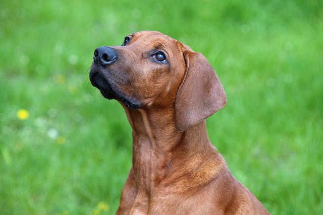Hyperthyroidism in Dogs - Symptoms, Causes, Diagnosis, Treatment, Recovery, Management, Cost