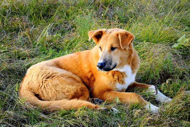 Hypoadrenocorticism in Dogs - Symptoms, Causes, Diagnosis, Treatment, Recovery, Management, Cost