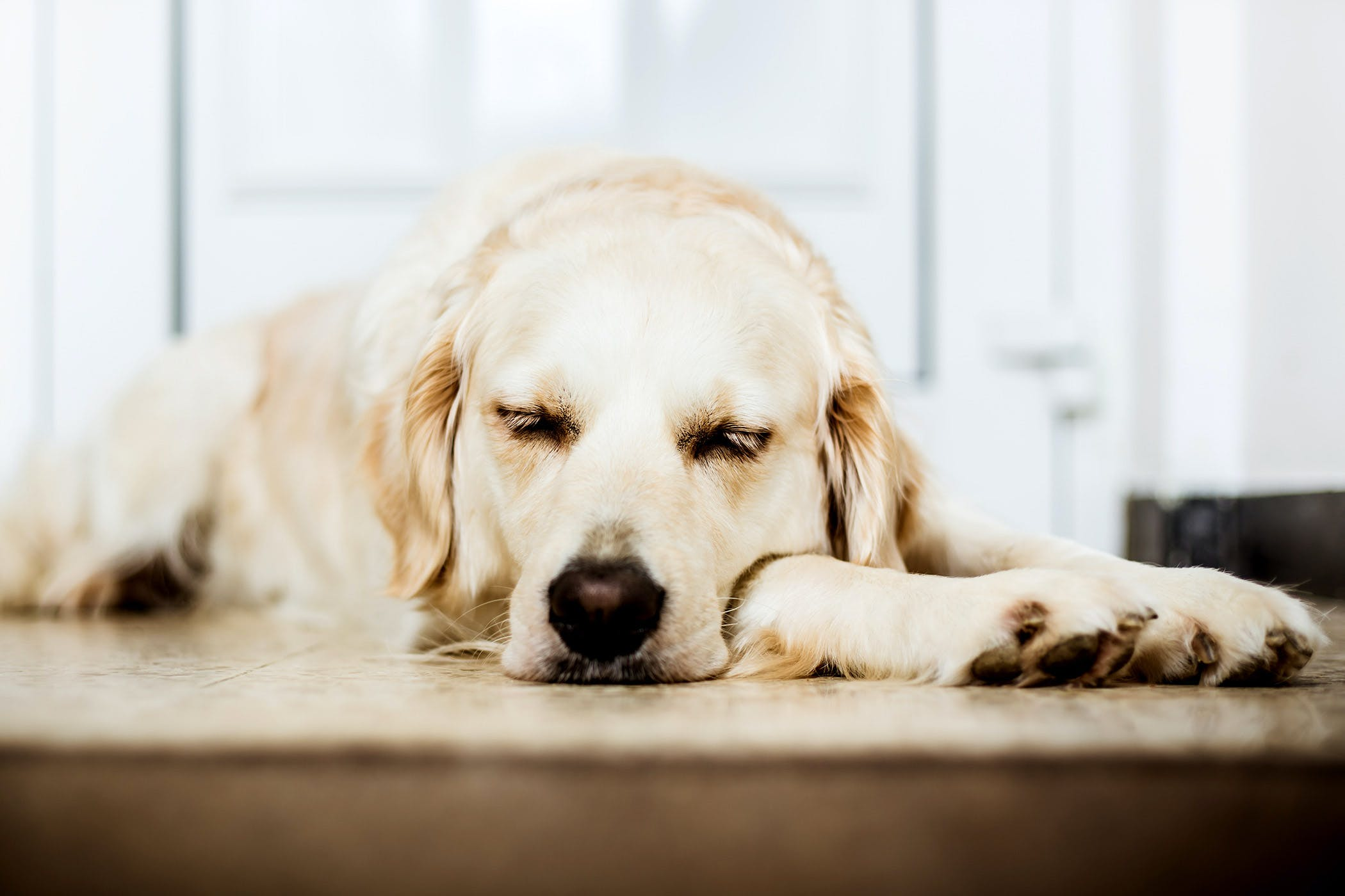 37a5a638d5af Low Blood Albumin in Dogs - Symptoms