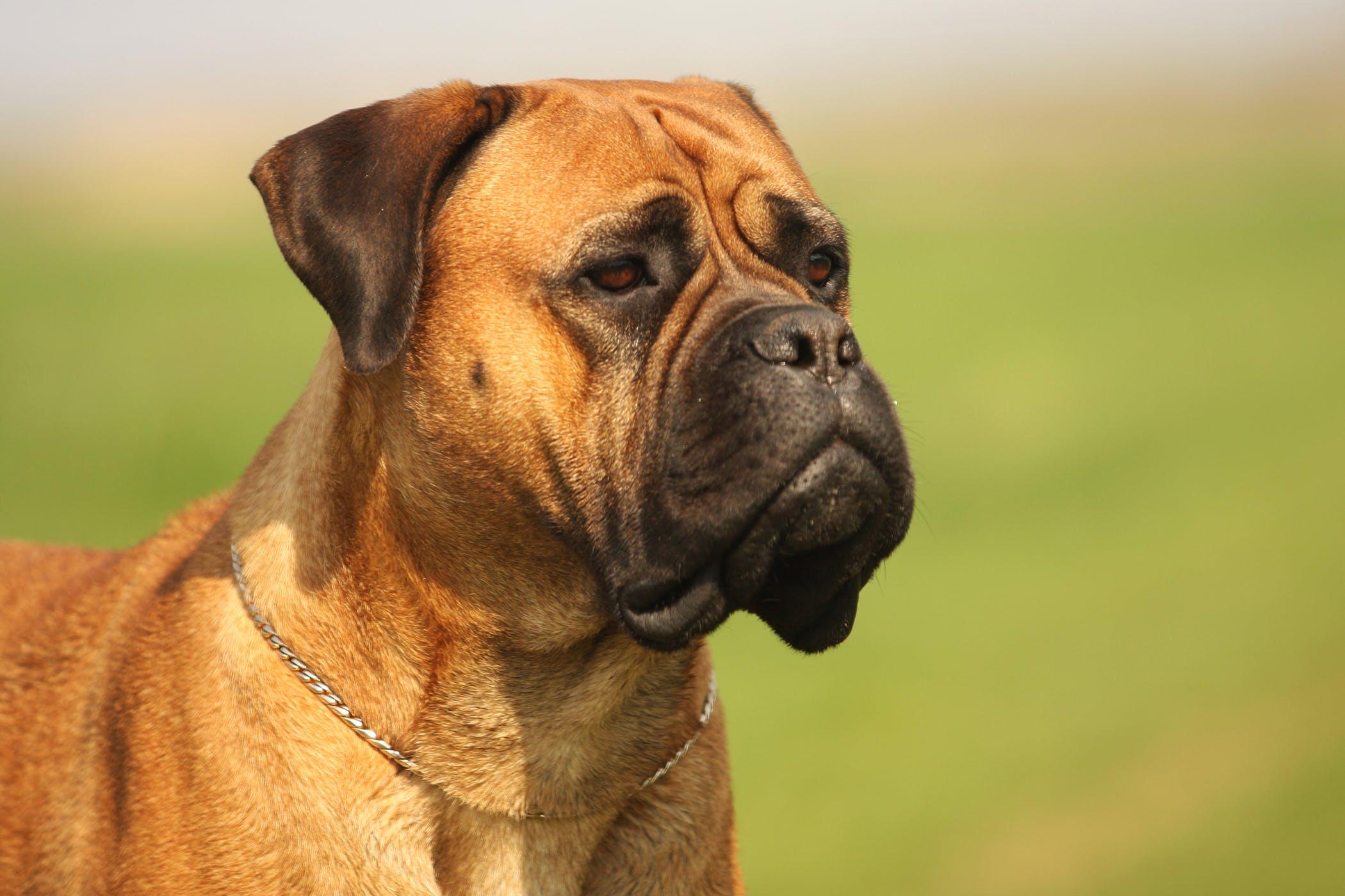 Hypopyon In Dogs Symptoms Causes Diagnosis Treatment