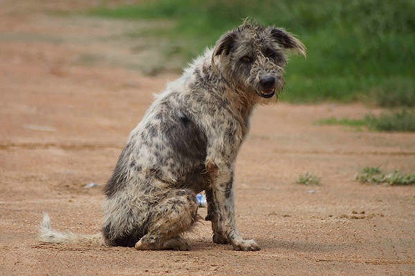 Ichthyosis (Fish Scale Disease) in Dogs - Symptoms, Causes, Diagnosis, Treatment, Recovery, Management, Cost