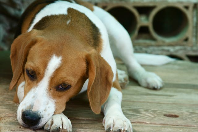 Immunoproliferative Enteropathy in Dogs - Symptoms, Causes, Diagnosis, Treatment, Recovery, Management, Cost
