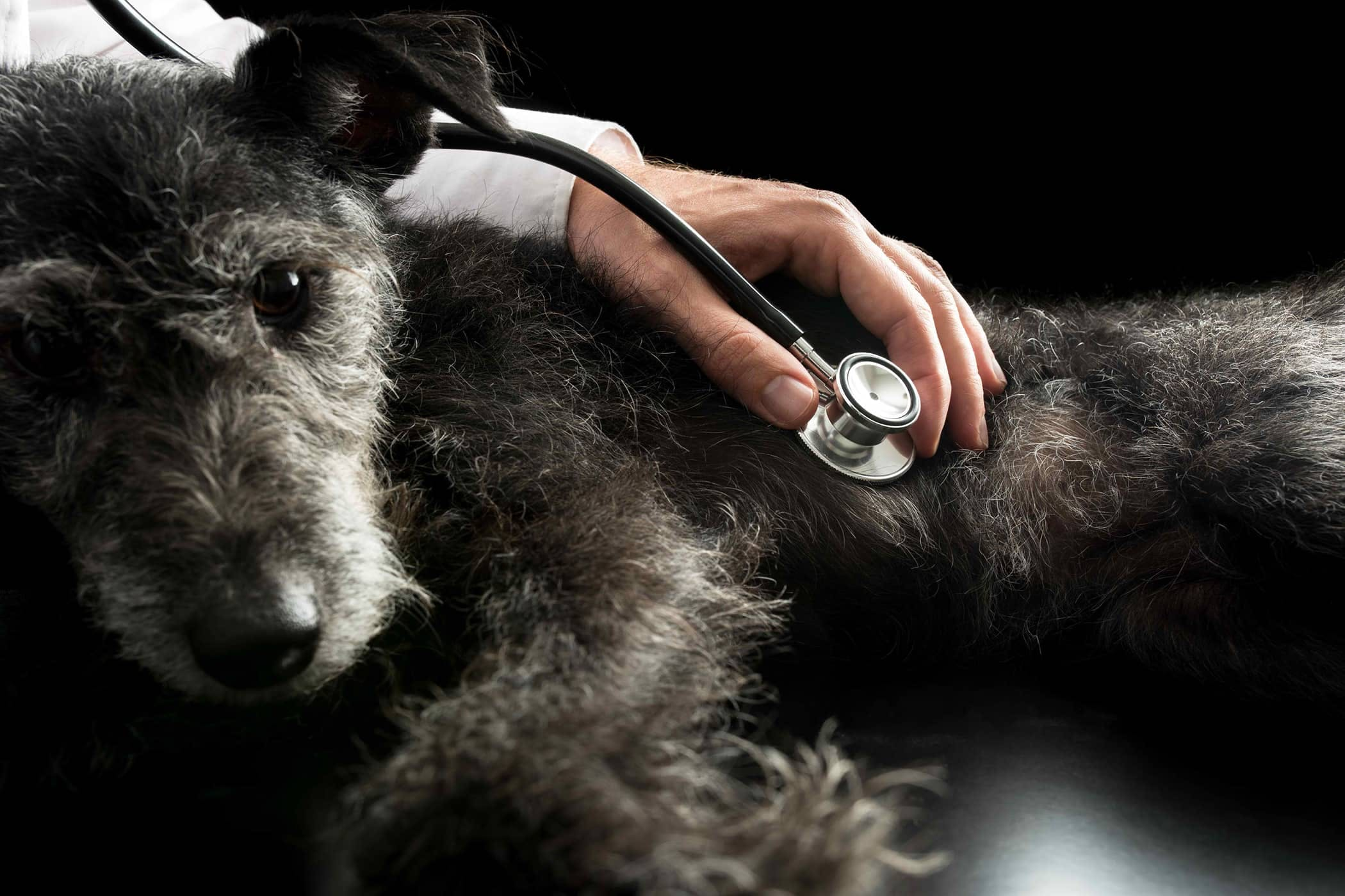 In Vitro Fertilization in Dogs - Conditions Treated, Procedure, Efficacy, Recovery, Cost, Considerations, Prevention
