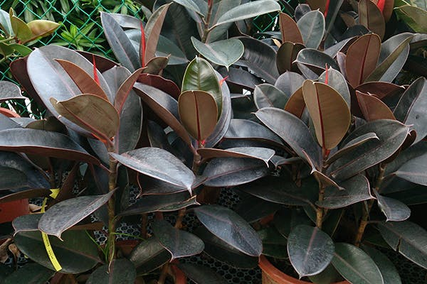 Indian Rubber Plant Poisoning in Dogs - Symptoms, Causes, Diagnosis, Treatment, Recovery, Management, Cost