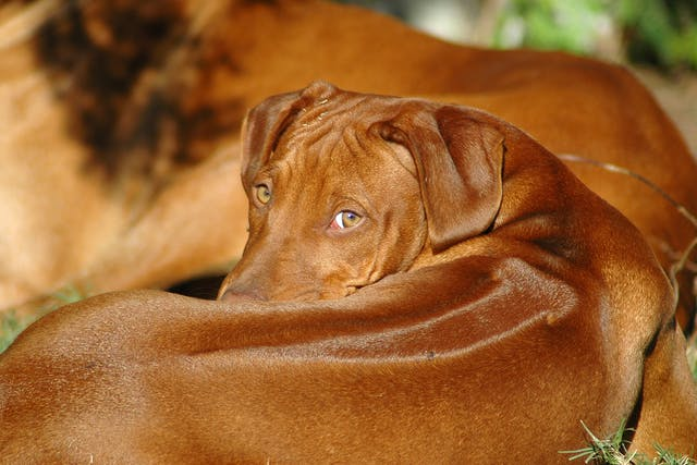 Infectious Canine Hepatitis - Symptoms, Causes, Diagnosis, Treatment, Recovery, Management, Cost