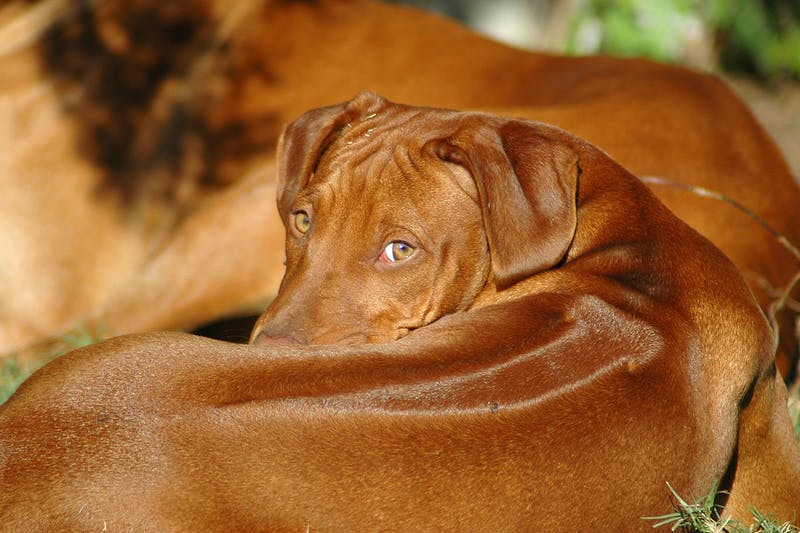 Infectious Canine Hepatitis in Dogs