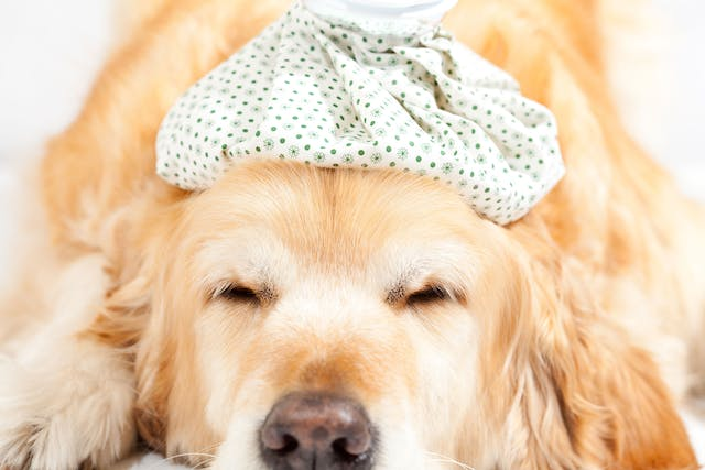 Adenovirus 1 in Dogs - Symptoms, Causes, Diagnosis, Treatment, Recovery, Management, Cost