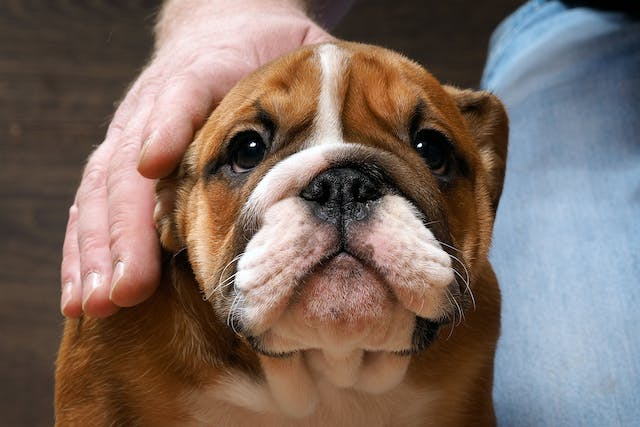 Inflamed Chewing Muscles and Eye Muscles in Dogs - Symptoms, Causes, Diagnosis, Treatment, Recovery, Management, Cost