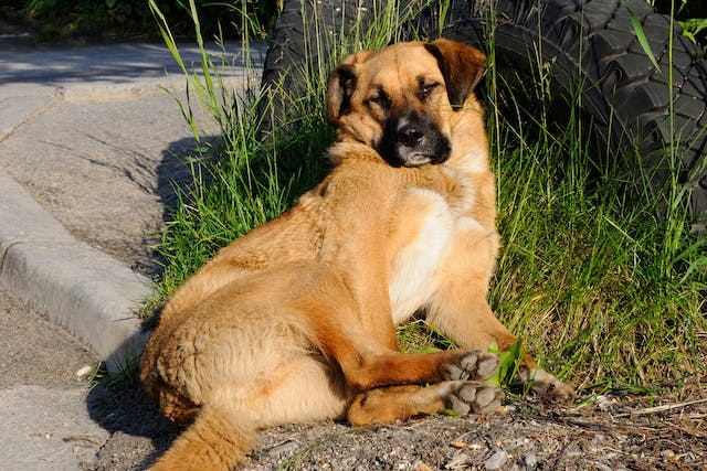 Inflammation of the Abdomen Due to Bile Leakage in Dogs - Symptoms, Causes, Diagnosis, Treatment, Recovery, Management, Cost