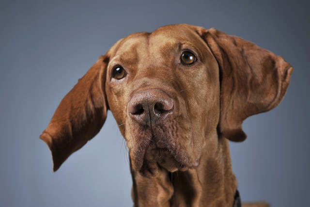 Inflammation of the Pancreas in Dogs - Symptoms, Causes, Diagnosis, Treatment, Recovery, Management, Cost