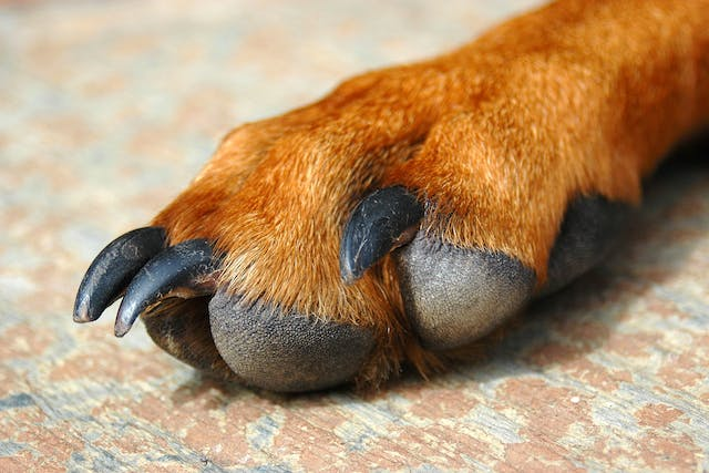 Inflammation of the Paws in Dogs - Symptoms, Causes, Diagnosis, Treatment, Recovery, Management, Cost