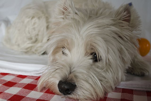 Inflammation of the Superficial Veins in Dogs - Symptoms, Causes, Diagnosis, Treatment, Recovery, Management, Cost