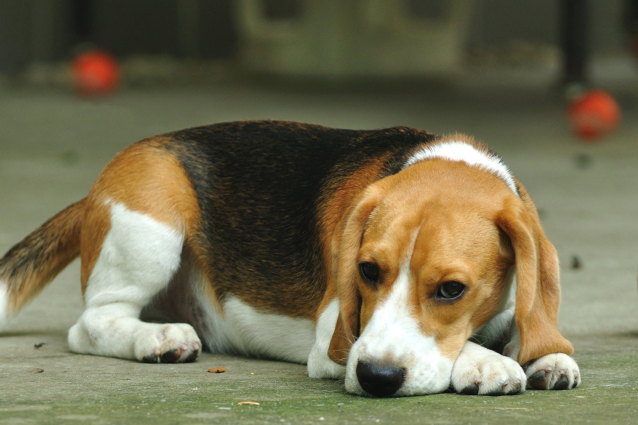Inguinal Herniorrhaphy in Dogs