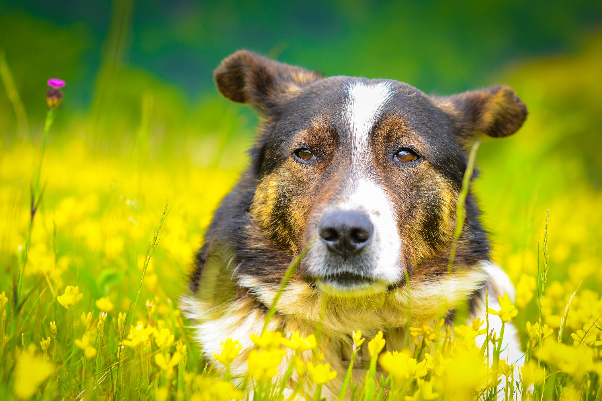 Injections Of Growth Hormone in Dogs