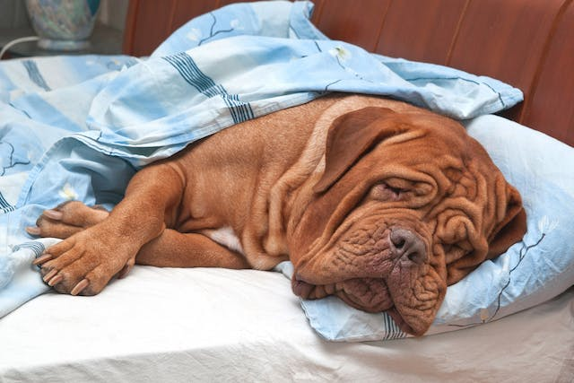 Intestinal Obstruction in Dogs - Symptoms, Causes, Diagnosis, Treatment, Recovery, Management, Cost