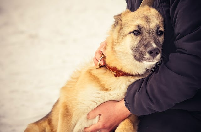 Intestinal Tract Disease (Lymphangiectasia) in Dogs - Symptoms, Causes, Diagnosis, Treatment, Recovery, Management, Cost