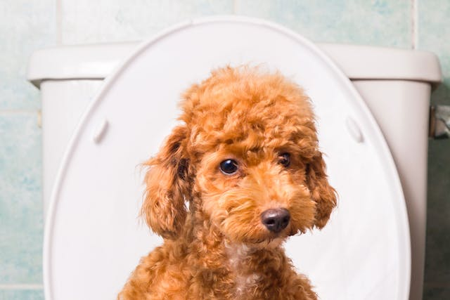 Intestinal Viral Infection (Rotavirus) in Dogs - Symptoms, Causes, Diagnosis, Treatment, Recovery, Management, Cost