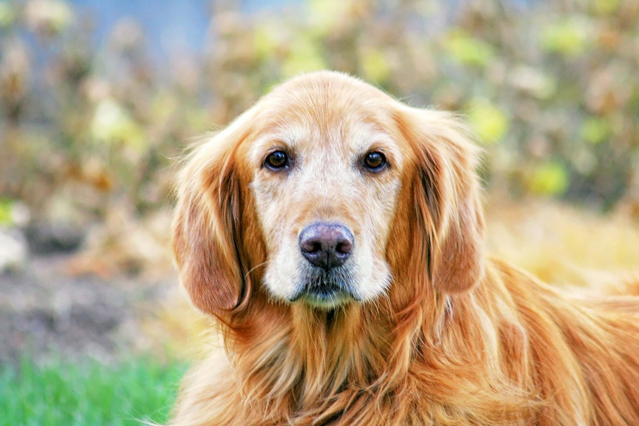 Involuntary Muscle Trembling in Dogs - Symptoms, Causes